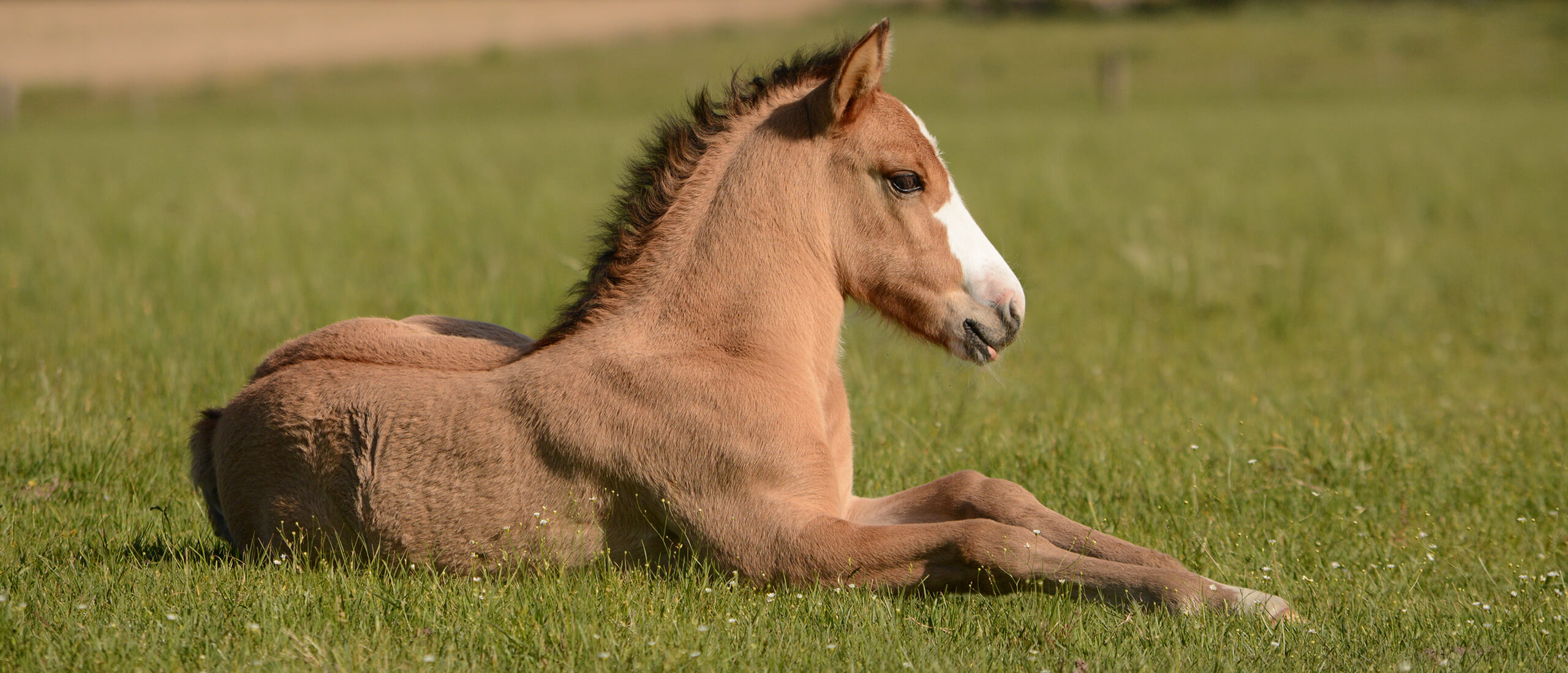 brown foal lying on grass