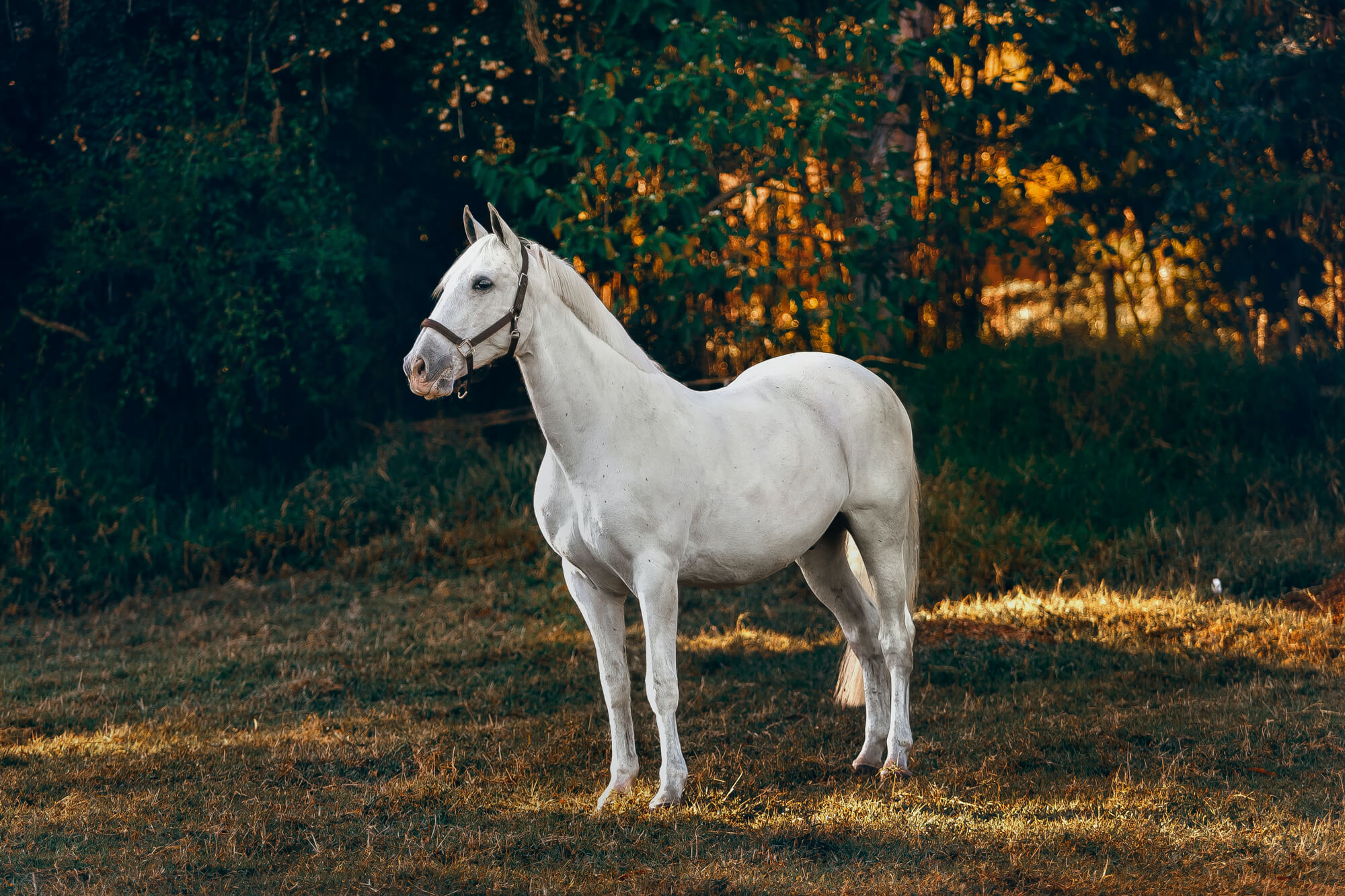 white horse standing in forest in head collar